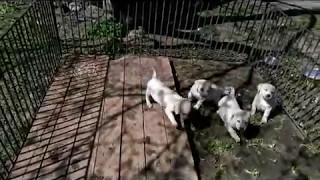 утро в питомнике-собаки продаются -щенки лабрадор и джек расел терьер
