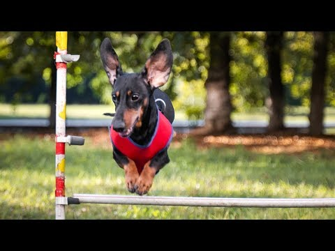 Air dachshund dog! Doxie Din win agility competition!