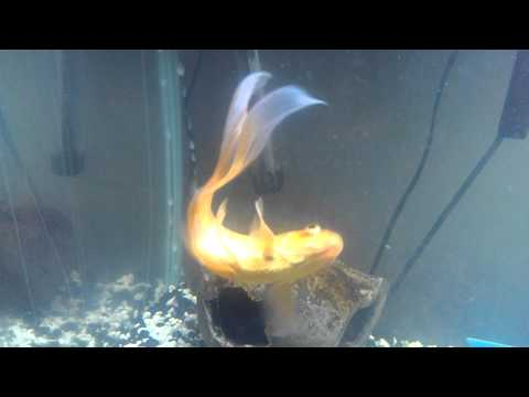 Comet Goldfish Suffering From Whirling Disease