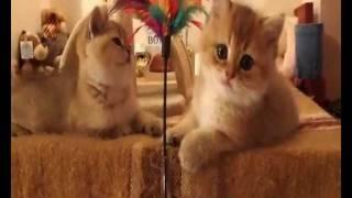 Золотые британский котята Йоська, Варька и Нюшка