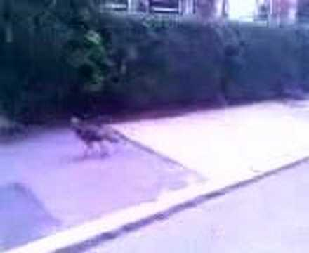 Turkeys in Brookline, MA