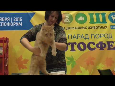 ZooSHOW 2016. Maine Coon breed show 2016-11-26