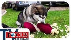 Problemhusky - Ein Fall für den Hundetrainer | Focus TV Reportage