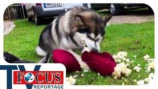 Problemhusky: Ein Fall für Hundetrainer Holger Schüler - Focus TV Reportage