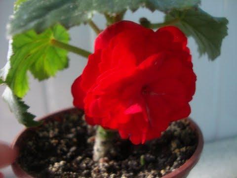 Чем отличается клубневая бегония от гибридной/Бегония Элатиор/Tuber Begonia/Begonia Elathior