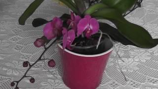 Как легко погубить орхидею Много воды  это опасно