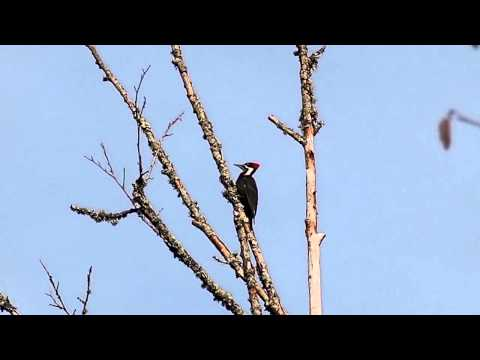 Pileated Woodpecker territorial call