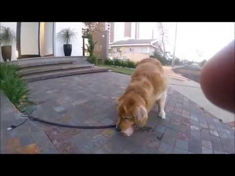 Bruce gelo e água - GoPro Hero4 Session Golden Retriever