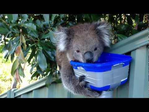 Cute Thirsty Koala - More Water Please