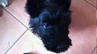 Cute Scottish Terrier Puppy