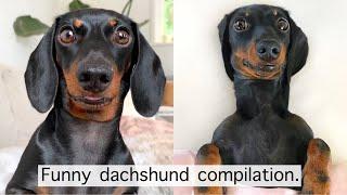 Funny dachshund compilation.