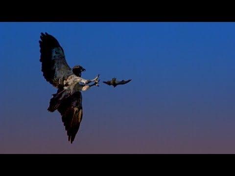 Red Tailed Hawk Hunts Bats | BBC Earth