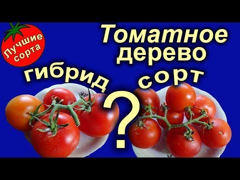 Вопрос: Что за новый сорт томатов Итальянское дерево Какие характеристики?