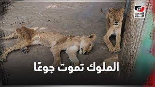 ملوك الغابة تموت جوعًا.. تفاصيل مأساة أسود الخرطوم الجائعة