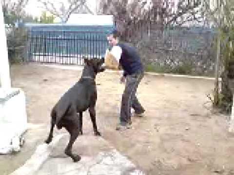 Dogo Aleman Nano Ataque Youtube