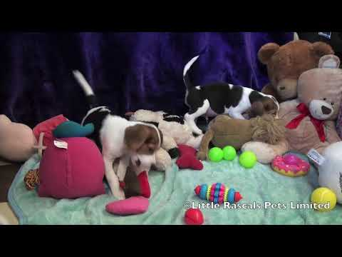 Little Rascals Beagle puppies for sale