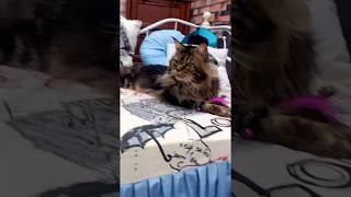 Просто красивый котик, без всяких лишних смыслов / Морда на выезде / питомник мейн-кунов Лирикум