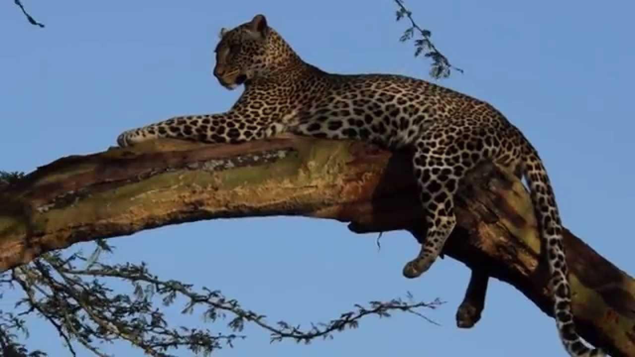 Lake nakuru leopard 4
