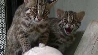 ツシマヤマネコ2頭、元気に育っています(福岡市動物園) ツシマヤマネコ 検索動画 3