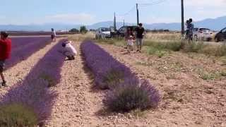 Lavender farms, South France 2/3