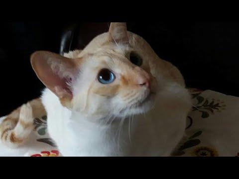 Dicakar kucing, wanita hampir meninggal;  China gunakan babi untuk percobaan kecelakaan -  TomoNews