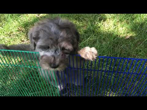 Furgee's schnoodle puppies 7-26-18