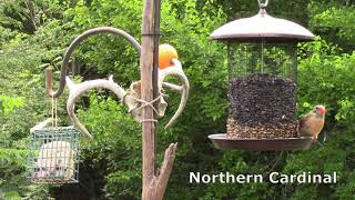 Common Birds At Our Feeders│Birdwatching│Backyard Wildlife