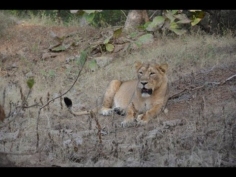 Gir national park home of asiatic lions...