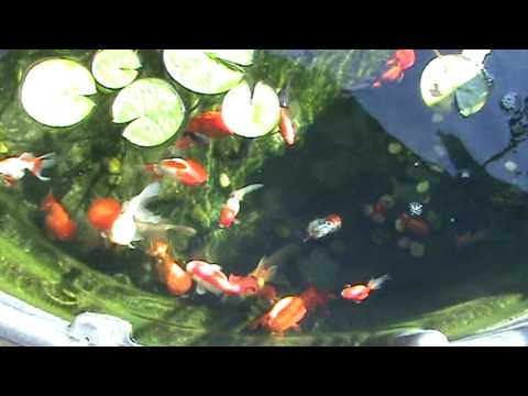 My Big Red Cap Oranda in the Pond