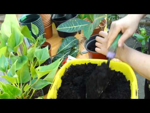 Пересадка Кротона. Transplanting Croton