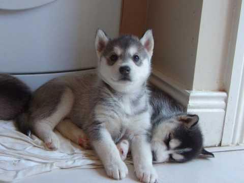 Siberian Husky Puppies Dogs Video Fanpop
