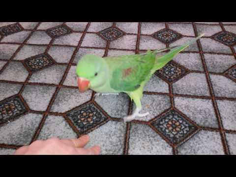 Прогулка птенца александрийского попугая