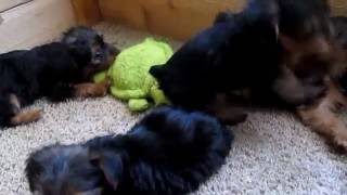 7 Week Old Yorkie Puppies UPDATE: Potty Training & More