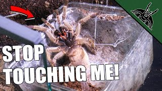 Ungrateful Tarantulas! Rehouse vid
