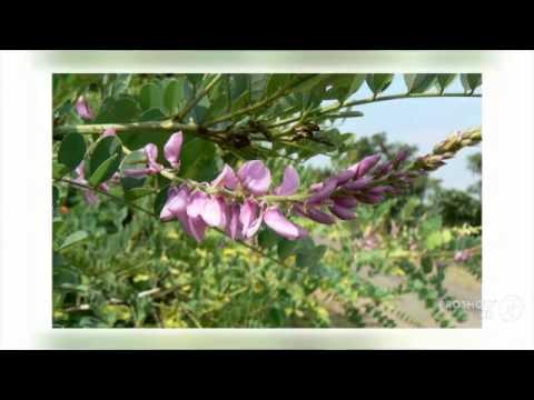 Indigofera - garden plants