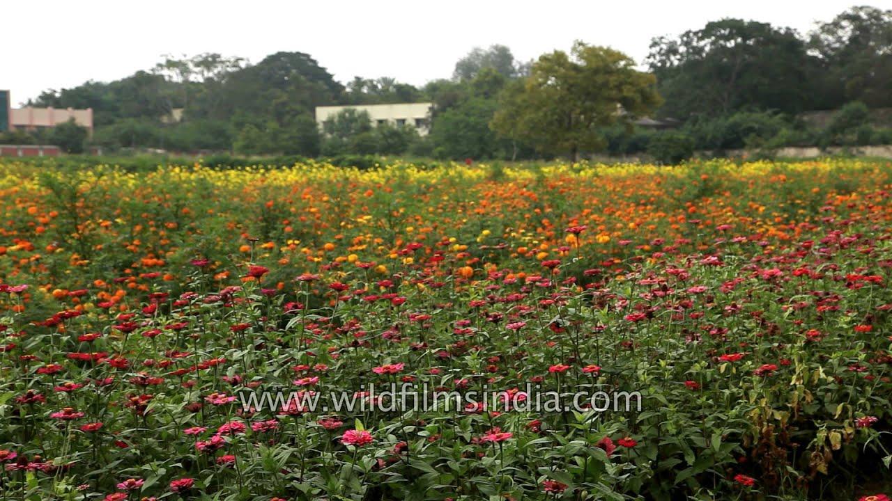 Flower fields of Botanical Garden, Coimbatore - YouTube