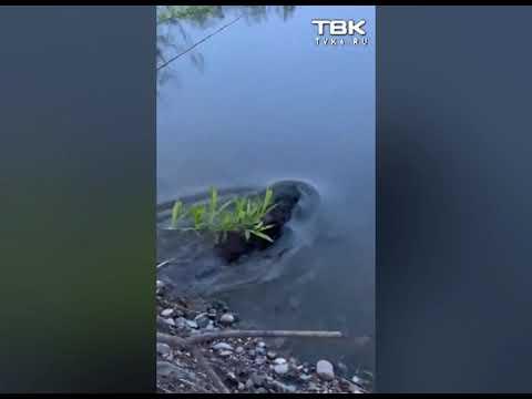Бобры купаются в Абаканской протоке в Красноярске
