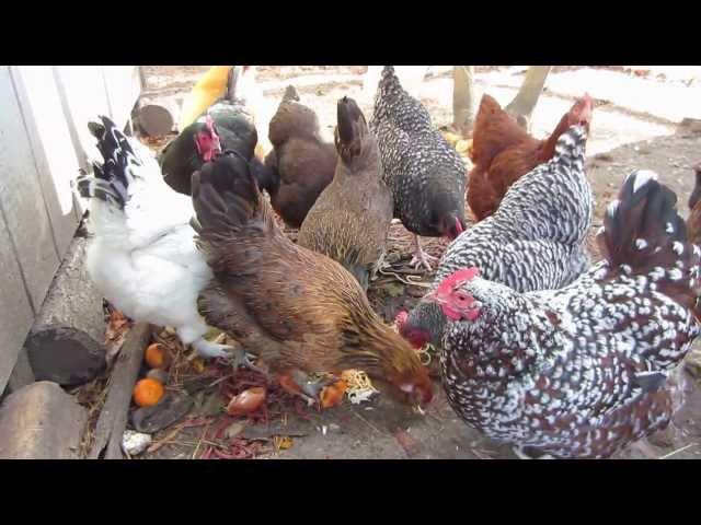 Feeding chickens kitchen scraps