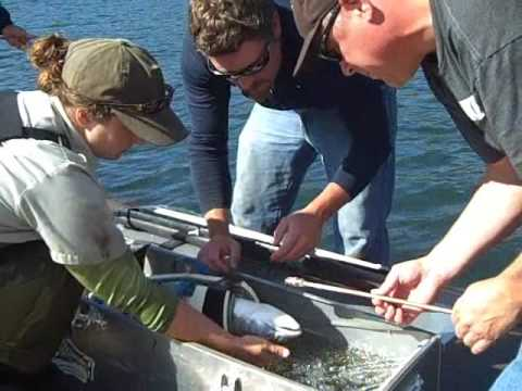 ODFW Coho Radio-tagging Project At Willamette Falls