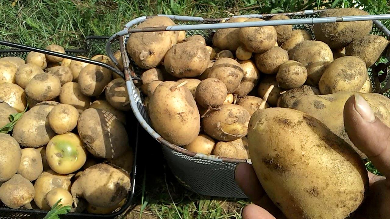 Dicke Kartoffeln