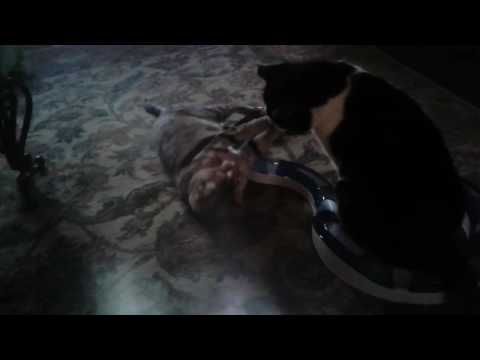 Cats fighting after catnip