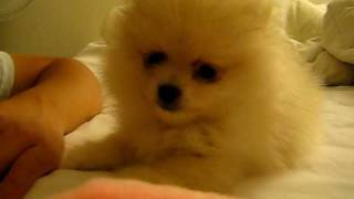 Cream Pomeranian Puppy Playing And Barking 8 Weeks Old