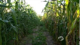 Confira dicas de cuidados na produção de milho verde