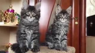 Мейн кун котята, сегодня 2 мес, продажа
