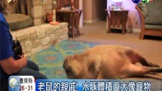 有人養貓狗當竉物,美國德州一對夫婦卻養了重達50公斤的水豚當竉物,不...