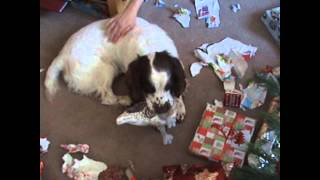 English Springer Spaniel Christmas Presents 2014