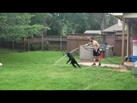 Poodle Acrobatics @ Pedigree Standard Poodles 🐩🐾