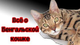 Бенгальская кошка - описание породы
