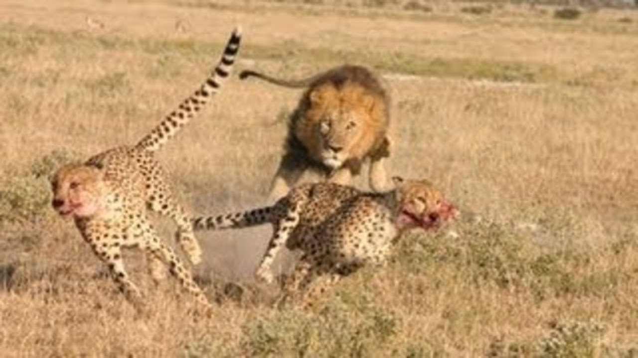 Lion Vs Cheetah - lion...