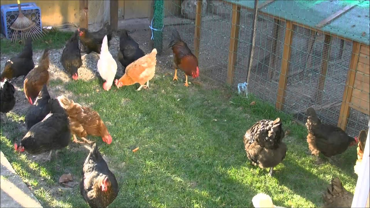 Hühnerhaltung Im Garten hühner im garten